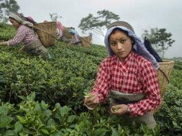 Darjeeling: Women's Labour Behind Our Cups Of Tea